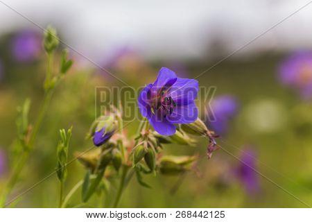 Geranium Pratense, Meadow Cranesbill, Meadow Crane's Bill, Meadow Geranium Blue Flower Close-up Agai