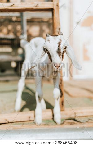 Rescued baby goat, The Sanctuary at Soledad, Mojave