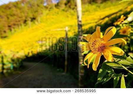 Sunrise Landscape Nature Of Golden Mountain By Mexican Sunflower Field Name Tung Bua Tong In Maehong