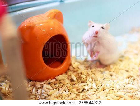 Cute Exotic Winter White Dwarf Hamster Standing Two Legs Begging For Pet Food With Innocent Face In