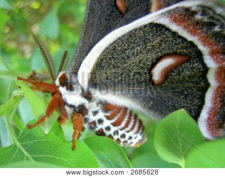Moth (Cecropia)