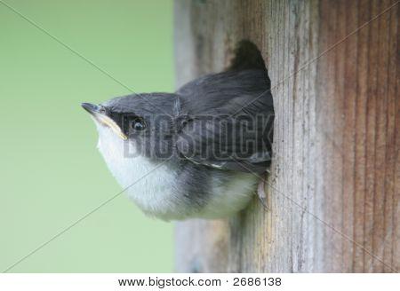 Baby Tree Swallow (tachycineta bicolor) in a bird house poster