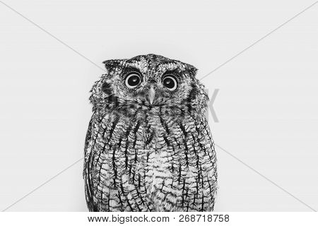 Owl Face In High Resolution, Owl Isolated.