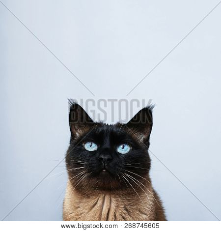 Siamese Cat With Blue Eyes Looking Up To Copy Space