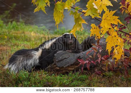 Striped Skunk (mephitis Mephitis) Looks Out Over Autumn Log - Captive Animal