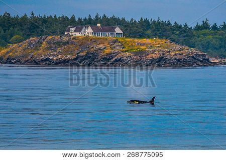 Orca Whale Swimming Past The Backyard Of A House On The Coast Of British Columbia, Canada.