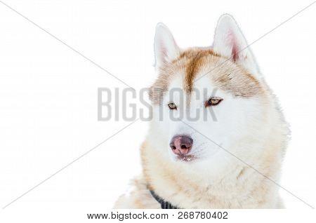One Siberian Husky Dog Image & Photo (Free Trial) | Bigstock