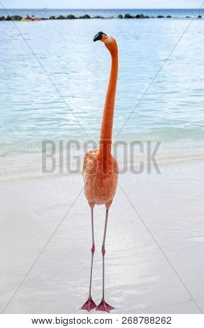 Wild Pink Flamingo On A Caribbean Beach