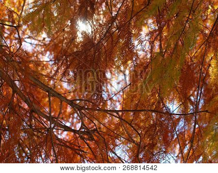 Beautiful Red Pine Needles Of A Bald Cypress Tree.