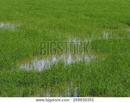 Nature Rice Tree Grassy Lush Verdant Verdantly Verdure Greenery Greenish  Green Fields Grass Green M