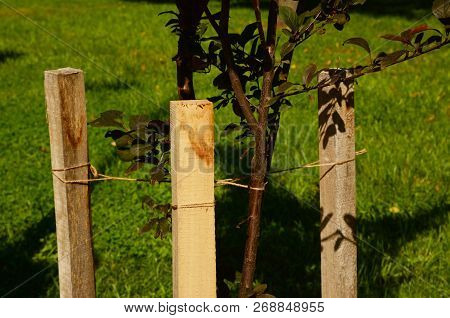 Planting A Tree Correctly With Two Stakes. If Your Tree Is Still A Sapling, Use A Stakes To Help It