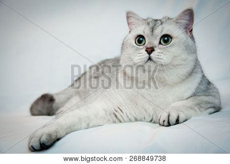 Big beautiful silvery British cat with big green eyes lies on a light background close-up. British shorthair male cat BRI ns 11 black silver shaded.
