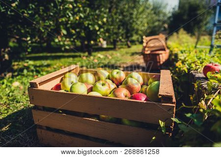 Fresh Organic Apples Are In Wooden Crate On Harvest Day.