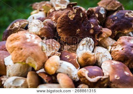 Boletus Edulis,  Penny Bun Or Porcino Is Wild Edible Mushroom.