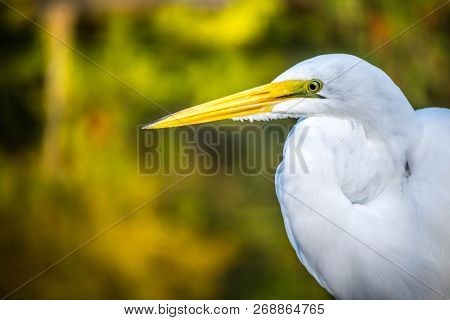 A Great White Egret In Orlando, Florida
