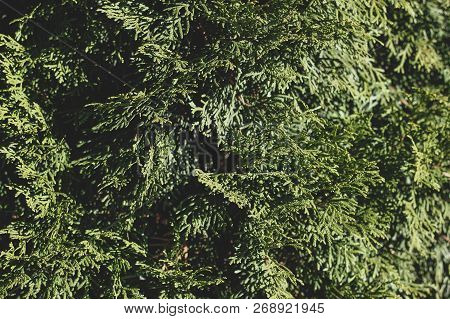 Green Background Of Sunny Thuja Tree Branches, With Focus And Blurred Parts. Wallpaper Full Of Everg