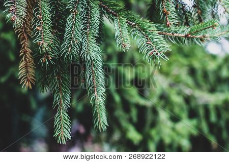 Closeup Of Beautiful Long Green Pine Branches With Focused And Blurred Parts. Abstract Christmas Wal
