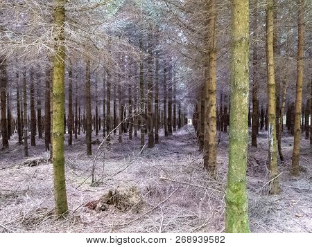 Rows Of Coniferous Trees In A Forested Area In Belgium