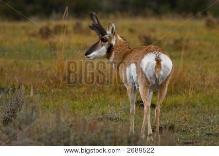 Pronghorn Antelope, Antilocapra Americana, Yellowstone National Park, Wyoming