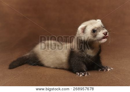Young Ferret Baby Posing In Studio On Background