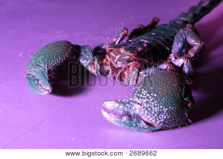 A scorpion shot under purple light so that its shell glows slightly greenish. poster