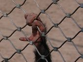 Monkey's hand is looking for freedom. Picture from ZOOpark. poster