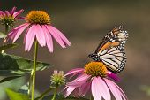 Monarch Butterfly on Pretty Pink Cone Flowers poster