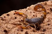 front side studio photography of a Scorpion on bark poster