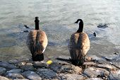 Two Canadian geese resting on a shore next to a lake. poster