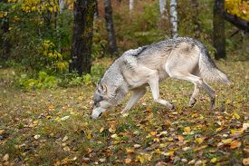 Grey Wolf (canis Lupus) Nose To The Ground Left Through Autumn Leaves - Captive Animal