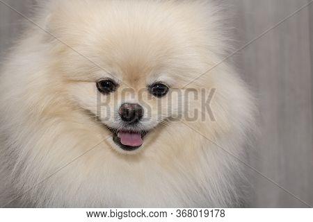 Purebred Pomeranian Dog Portrait Image Taken In A Studio.
