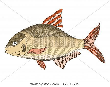 Sketch Textured Vector Common Freshwater Bream Illustration. Bronze Carp Or Dorado Fish In Engraving