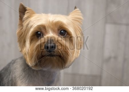 Yorkshire Terrier Puppy Portrait. Image Taken In A Studio.