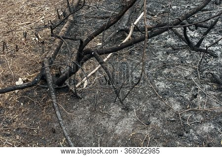 Pile Of Burnt Branches, A Tree After A Forest Fire. Consequence Of The Forest Fire.the Result Of Hum