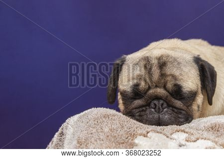 Cute Dog Sleeping On The Bed. Pug Portrait Close Up With Copy Space