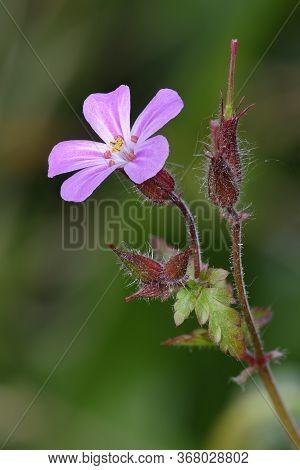 Herb-robert - Geranium Robertianum  Flower, Buds, Leaf And Seed Pod