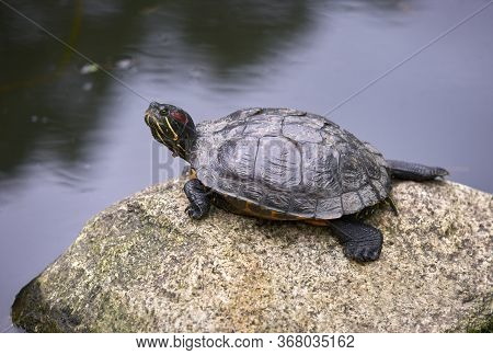 Red Eared Slider Turtle. A Red Eared Slider Turtle Rests On A Rock.