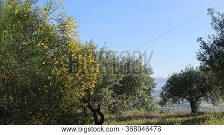 Yellow Broom Shrub In Olive Grove