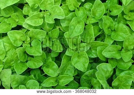 Top View Watercress Or Nasturtium Officinale Organic Growing In The Vegetable Garden Plant Green Lea