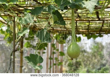 Calabash, Long Gourd, Ornamental Gourds (fancy Pumpkin) Growing On The Vine In Organic Garden. Lagen
