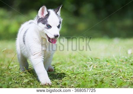 Cute Siberian Husky Puppy On Grass. A Close Up