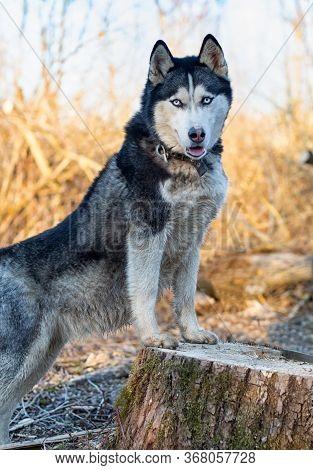Siberian Husky Stand On A Stump. A Close Up