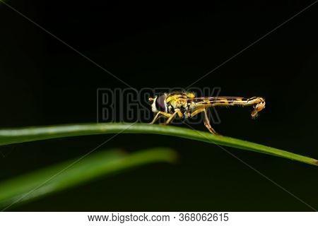 A Male Long Hoverfly (sphaerophoria Scripta, Syrphidae) Resting On A Green Leaf (vienna, Austria
