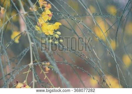 Horizontal Background With Yellow Flowers Of Parkinsonia Aculeata Also Known As Palo Verde, Mexican