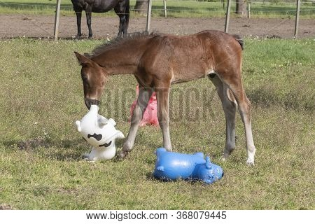 Brown Stallion Foal Is Playing With Brightly Colored Rubber Inflatable Animal Toys, In The Pasture,