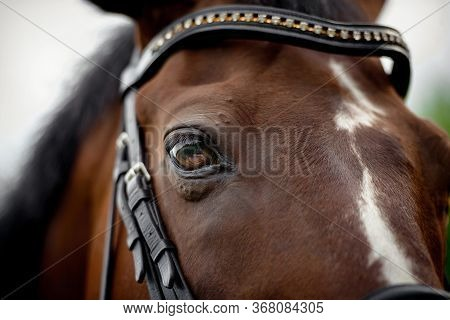 Horse's Eye. Horse's Head In The Bridle Close-up.