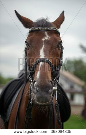 Portrait Of A Horse In A Bridle Close-up.