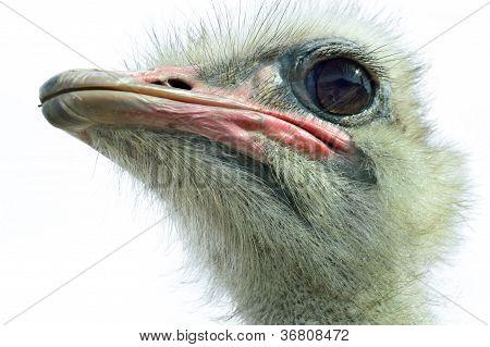 Ostrich(Struthio camelus camelus)