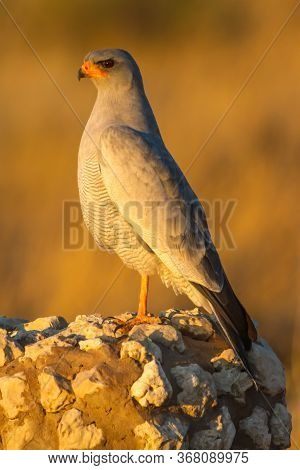 Pale Chanting Goshawk (melierax Canorus) Perched On A Rock Post In Dramatic Golden Light