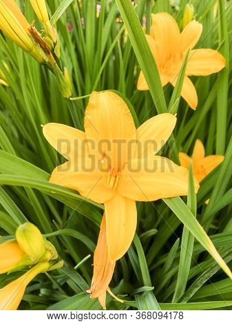 Yellow Lilly Folwer Growing In Home Garden.